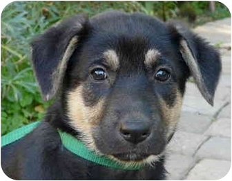 German Shepherd Dog Puppy for adoption in Los Angeles, California - Penny  von Broudy