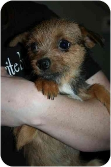 Cairn Terrier Mix Dog for adoption in Astoria, New York - Trudy