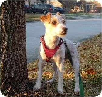 Jack Russell Terrier Dog for adoption in Houston, Texas - Gidget in Houston