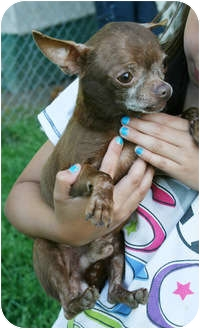 Chihuahua Dog for adoption in Spring Valley, New York - Coco