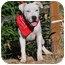 Photo 2 - American Bulldog Mix Puppy for adoption in Aurora, Colorado - Libby
