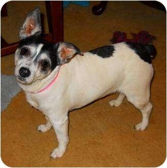 Rat Terrier Mix Dog for adoption in Oklahoma City, Oklahoma - Betty Big Heeart