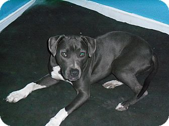 Blue Lacy/Texas Lacy Mix Dog for adoption in bronx, Oklahoma - Silver