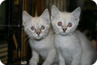Siamese Kitten for adoption in Foster, Rhode Island - Virginia and/or Caroline