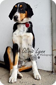 Treeing Walker Coonhound/Bernese Mountain Dog Mix Dog for adoption in Raleigh, North Carolina - Chip