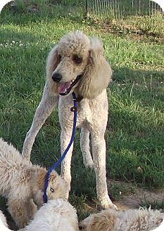 Standard Poodle Dog for adoption in moscow mills, Missouri - Lucky ADOPTED!