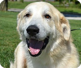 Great Pyrenees/Golden Retriever Mix Dog for adoption in White River Junction, Vermont - Avis