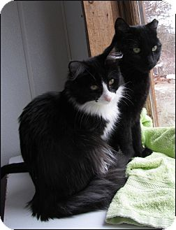 Domestic Shorthair Cat for adoption in Colville, Washington - Daddy Kitty (Bruno)