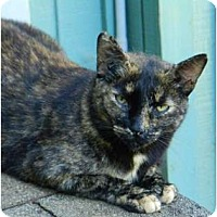Domestic Shorthair Cat for adoption in Makawao, Hawaii - Lightning Flash