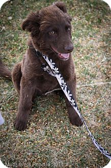 Labrador Retriever/Collie Mix Puppy for adoption in Broomfield, Colorado - Whiskey River