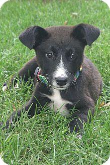 Labrador Retriever/Border Collie Mix Puppy for adoption in berwick, Maine - Harrison