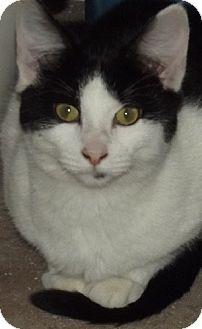 Domestic Shorthair Cat for adoption in Savannah, Missouri - Jenny