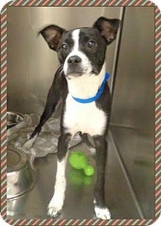 Rat Terrier Mix Puppy for adoption in Marietta, Georgia - CAPPY
