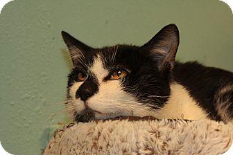 Domestic Shorthair Cat for adoption in Warwick, Rhode Island - Oreo