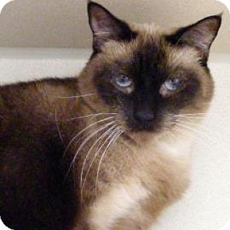 Siamese Cat for adoption in Denver, Colorado - Sassy