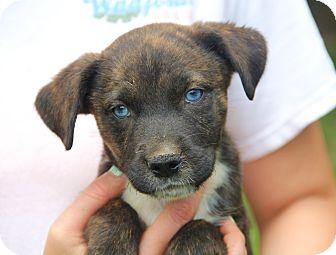 Australian Shepherd Mix Puppy for adoption in Pewaukee, Wisconsin - CRYSTAL - stunningly beautiful