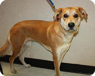 Labrador Retriever/Golden Retriever Mix Dog for adoption in Ripley, West Virginia - Daisy