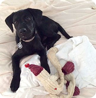Labrador Retriever Mix Puppy for adoption in Greenfield, Wisconsin - Sparky