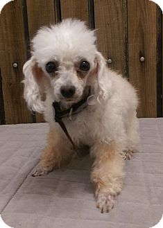 Poodle (Miniature) Dog for adoption in Ogden, Utah - Sassy