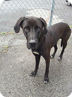 Great Dane/Labrador Retriever Mix Dog for adoption in Morgantown, West Virginia - Wendy
