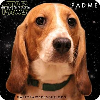 Beagle Dog for adoption in South Plainfield, New Jersey - Padmé