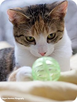 Domestic Shorthair Cat for adoption in Homewood, Alabama - Bobbi and Booster