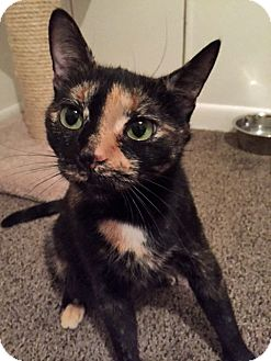 Domestic Shorthair Cat for adoption in Troy, Michigan - Bubbles