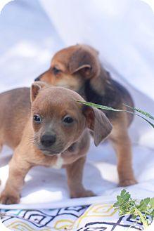 Dachshund Mix Puppy for adoption in Auburn, California - Jack