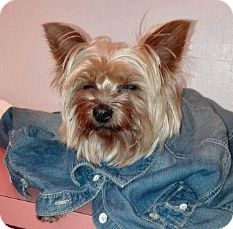 Yorkie, Yorkshire Terrier Mix Dog for adoption in Fremont, California - Rhina