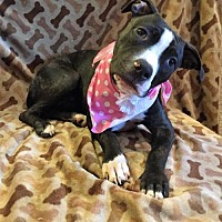 Pit Bull Terrier Mix Dog for adoption in Centerburg, Ohio - Taco