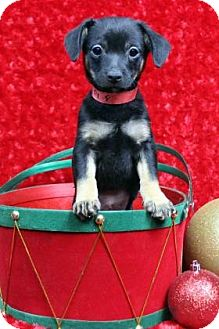 Dachshund Mix Puppy for adoption in Westminster, Colorado - BIPPITY
