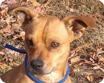 Feist Mix Dog for adoption in Washington, D.C. - Chucky
