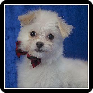 Maltese/Pomeranian Mix Dog for adoption in San Diego, California - Michael