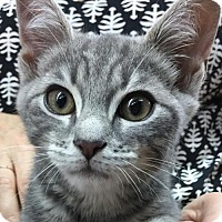 Domestic Shorthair Kitten for adoption in Brooklyn, New York - Pickles, Pippin & Rosie