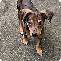 Adopt A Pet :: Kylie - Marlton, NJ