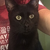 Domestic Shorthair Cat for adoption in Duluth, Georgia - Buster