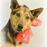 Adopt A Pet :: Scooby - Lake Havasu City, AZ