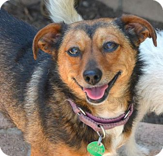 Chihuahua/Border Terrier Mix Dog for adoption in Marina Del Ray, California - SCARLET