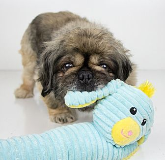 Pekingese Dog for adoption in Minneapolis, Minnesota - Charlie Chan