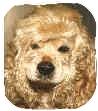 Cocker Spaniel Dog for adoption in San Diego, California - Annie Jean