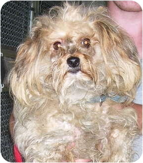 Shih Tzu Mix Dog for adoption in Somerset, Pennsylvania - Daisy