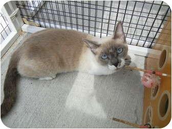 Siamese Cat for adoption in Corpus Christi, Texas - Lilac
