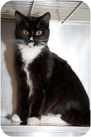 Domestic Longhair Cat for adoption in Dayton, Ohio - Taylor