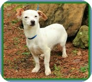 Dachshund/Chihuahua Mix Dog for adoption in Brattleboro, Vermont - Long John Silver (In New Eng.)