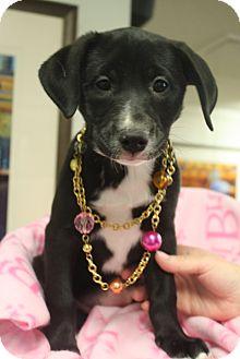 Labrador Retriever Mix Puppy for adoption in Homewood, Alabama - Jade