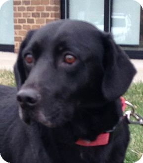 Labrador Retriever/Retriever (Unknown Type) Mix Dog for adoption in Lincolnton, North Carolina - Gunnar