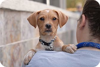 Golden Retriever Mix Puppy for adoption in Los Angeles, California - Bowie
