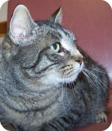 Domestic Shorthair Cat for adoption in Jackson, Michigan - Thelma