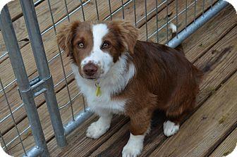 Border Collie Mix Puppy for adoption in Garland, Texas - Donnie