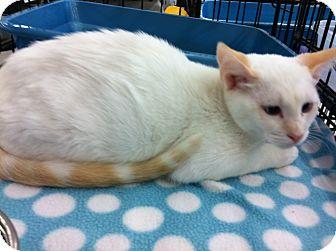 Siamese Kitten for adoption in Riverside, California - Elsa